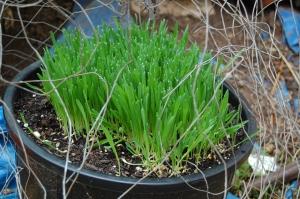 barleygrowing-2